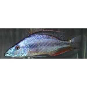 Dimichromis compressiceps (Malawi eyebiter Cichlidé mangeur d'yeux)