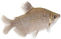 Distichodus affinis (Distichodus à nageoires rouges)