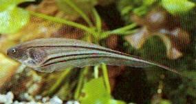 Eigenmannia virescens (Poissons couteaux de verre)