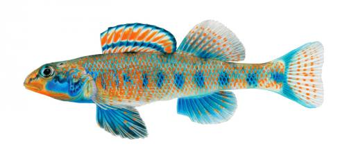 Etheostoma obama (Perche obama)