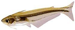 Eutropiellus debauwi (Eutropiellus debauwi)