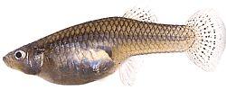 Gambusia affinis (Gambusie du Texas)