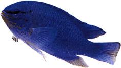Glyphidodontops cyaneus (Diable bleu)