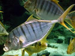 Gnathanodon speciosus (Valet rayé)