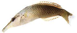 Gomphosus varius (Labre-oiseau)
