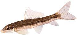 Gyrinocheilus aymonieri (Gyrino ,gyrino albinos)