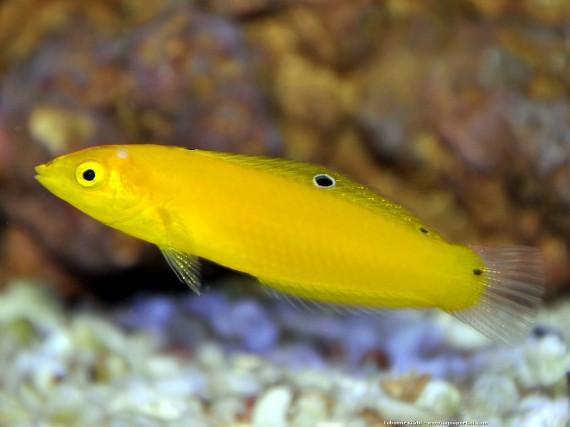 halichoeres chrysus labre jaune labre canari poisson d 39 aquarium d 39 eau eau de mer chaude. Black Bedroom Furniture Sets. Home Design Ideas