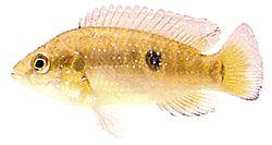 Hemichromis bimaculatus (Cichlidé joyau)