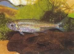 Hemigrammopetersius pulcher (Tétra-néon africain)