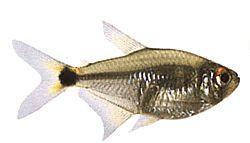Hemigrammus ocellifer (Feu de position)