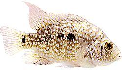 Herichthys cyanoguttatus carpintus (Cichlidé du Texas)