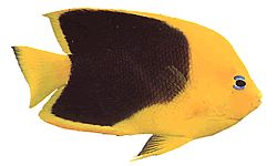 Holacanthus tricolor (Holacanthe tricolore)