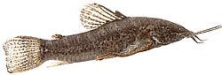 Hoplosternum thoracatum (Silure peint)