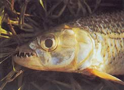 Hydrocynus vittatus (Characin-tigre)