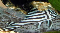 Hypancistrus zebra (Pleco zèbre)