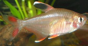 Hyphessobrycon bentosi bentosi (Bentosi)