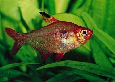 Hyphessobrycon callistus rubis du paraguay poisson d for Poisson eau chaude aquarium