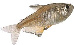 Hyphessobrycon flammeus (Tétra rouge de rio)