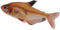 Hyphessobrycon serpae (Serpae)