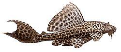 Hypostomus multiradiatus (Hypostomus multiradiatus)