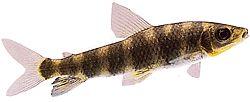 Leporinus desmotes (Leporinus à trompe)