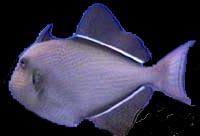 Melichthys ringens (Baliste à nageoires noires)