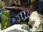 Cyphotilapia frontosa bl... Frontosa blue zaire moba