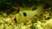 Microgeophagus ramirezi