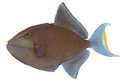 Odonus niger (Baliste bleu)