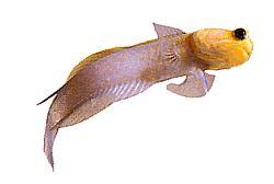Opistognathus aurifrons (Opistognathe à front doré)