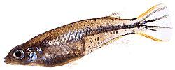 Oryzias melastigma (Killi de Java)