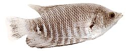 Osphronemus goramy (Gourami géant)