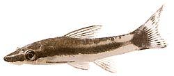 Otocinclus affinis (Otocinclus nain)