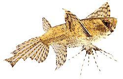 Pantodon buchholzi (Poisson papillon)
