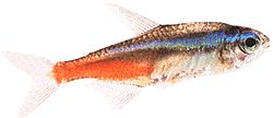 Paracheirodon innesi (Tétra neon)
