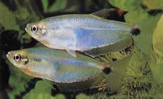 Paragoniates alburnus (Tétra de verre bleu, tétra-Pasca)