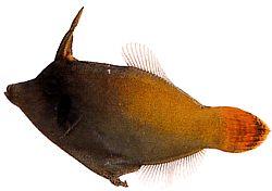 Pervagor melanocephalus (Poisson-lime à queue rouge)