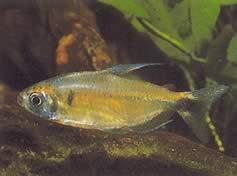 Phenacogrammus ansorgii (Nom commun : tétra du congo de ansorge)