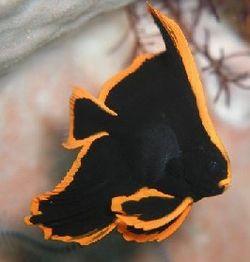 Platax pinnatus (Poisson-chauve-souris rouge)