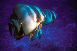 Platax teira (Poisson chauve-souris à longues nageoires)