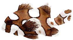 Plectorhynchus chaetodonoides (Gaterin arlequin)