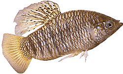 Poecilia nigrofasciata (Poecilia à raies noires)