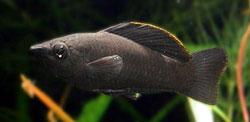 Poecilia sphenops (Black molly)