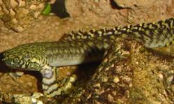 Polypterus ornatipinnis (Polypterus ornatipinnis)