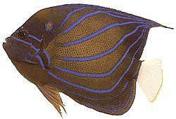 Pomacanthus annularis (Poisson-ange à anneau)