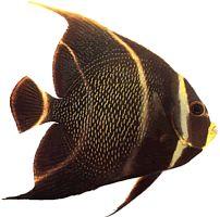 Pomacanthus paru (Poisson-ange français)