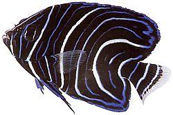 Pomacanthus semicirculatus (Poisson-ange à demi-cercles)