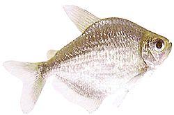 Poptella orbicularis (Characin disque)