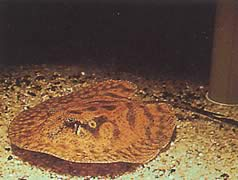 Potamotrygon hystrix (Raie d'eau douce marbrée)