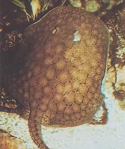 Potamotrygon reticulatus (Raie d'eau douce réticulée)
